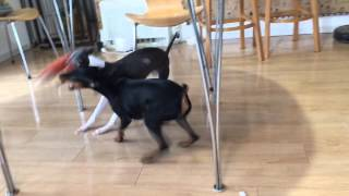 イタグレとミニピン italian Greyhound X Miniature Pinscher