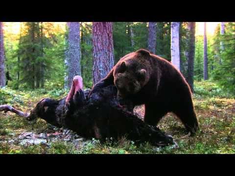 Смотреть Expeditionen ins Tierreich - Finnland: Braunbär (HD) онлайн