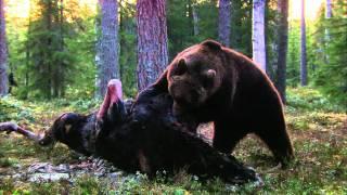Expeditionen ins Tierreich - Finnland: Braunbär (HD)