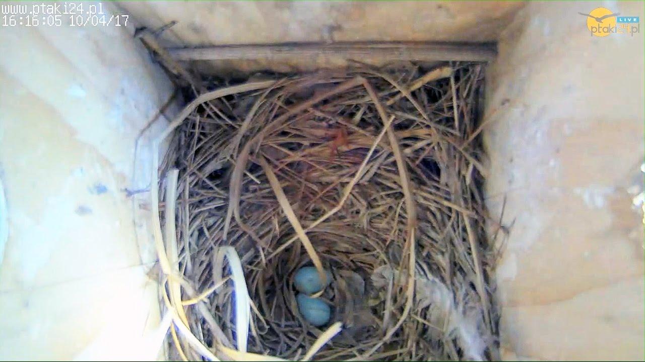 Drugie jajeczko szpaków w budce lęgowej #01 w ogrodzie