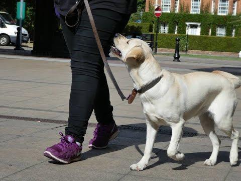 Luna - Labrador x Golden Retriever - 3 Weeks Residential Dog Training