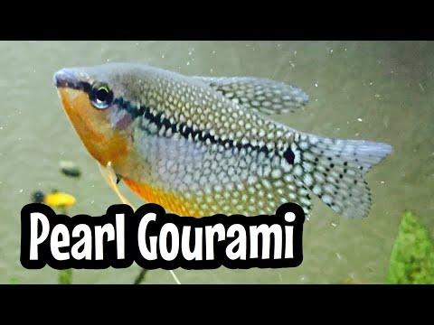 Aquarium Pearl Gourami Fish Tank Care