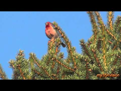 House Finch singing.... :)