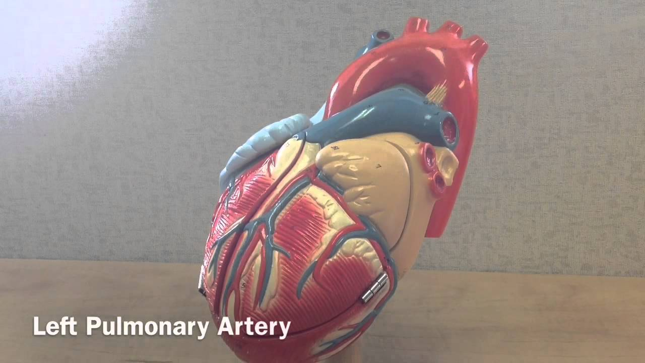 External Anatomy of the Heart - YouTube