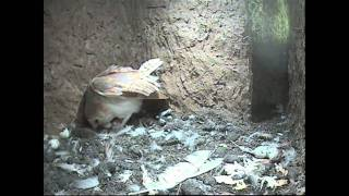 Barn Owl story 2011