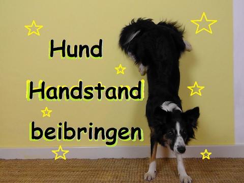 Tutorial || Hund Handstand beibringen || Wie bringe ich meinem Hund Handstand bei?