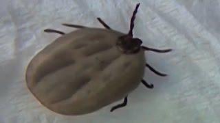 видео виды клещей иксодовый клещ