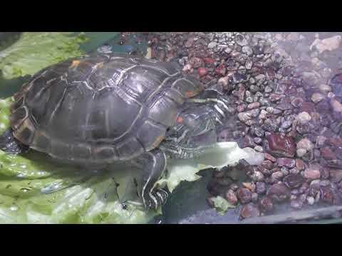 черепаха издает звуки
