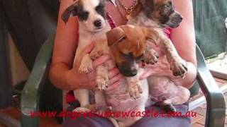 Staffy X Cattle Dog Puppies - Have All Been Adopted
