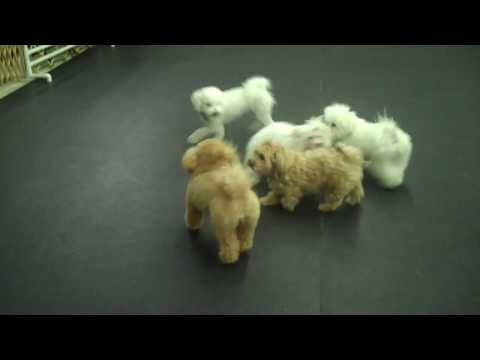 Puppy and small dog playgroup Maltese shows her stuff