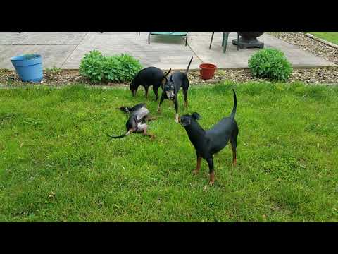 Manchester Terrier- this is how we roll