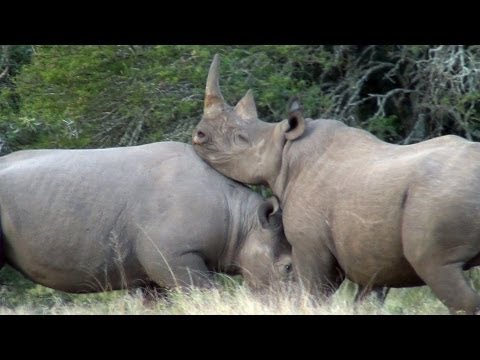 Black Rhino Bulls Fighting