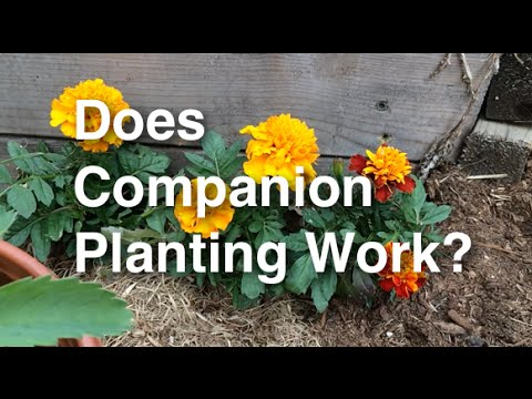 Does Companion Planting Work to Deter Pests?