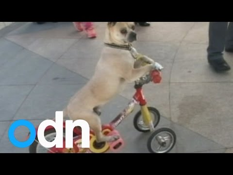 Duo Duo the dog can perform more than 40 different stunts