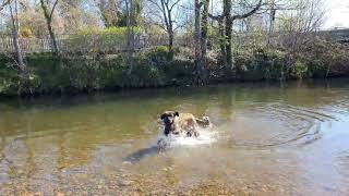 A LEONBERGER DOG SWIMS IN MORPETH RIVER