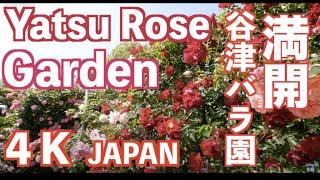 [4k]Yatsu Rose Garden 千葉県・谷津バラ園の満開のバラガーデン 花の名所案内