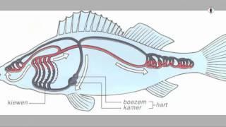bloedsomloop deel 1: Drie verschillende typen bloedsomlopen