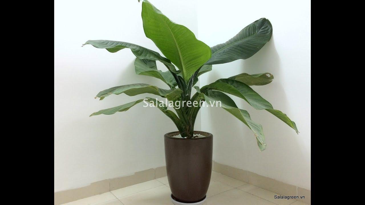 Giới thiệu về cây Đại Phú Gia và hướng dẫn cách chăm sóc cây