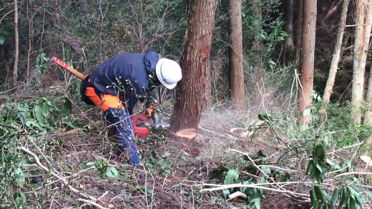 木の伐採方法 チェーンソー伐採 ① - YouTube