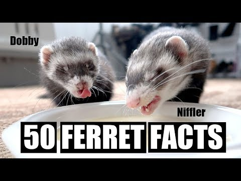 50 AMAZING FERRET FACTS