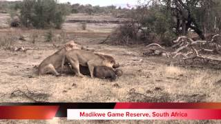 Lions Kill Elephant - Madikwe Attack