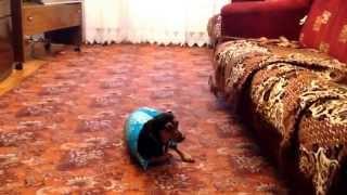 Собака в одежде, одета впервые))!!