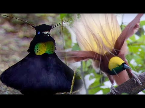 Bird Of Paradise Courtship Spectacle | Planet Earth | BBC Ea