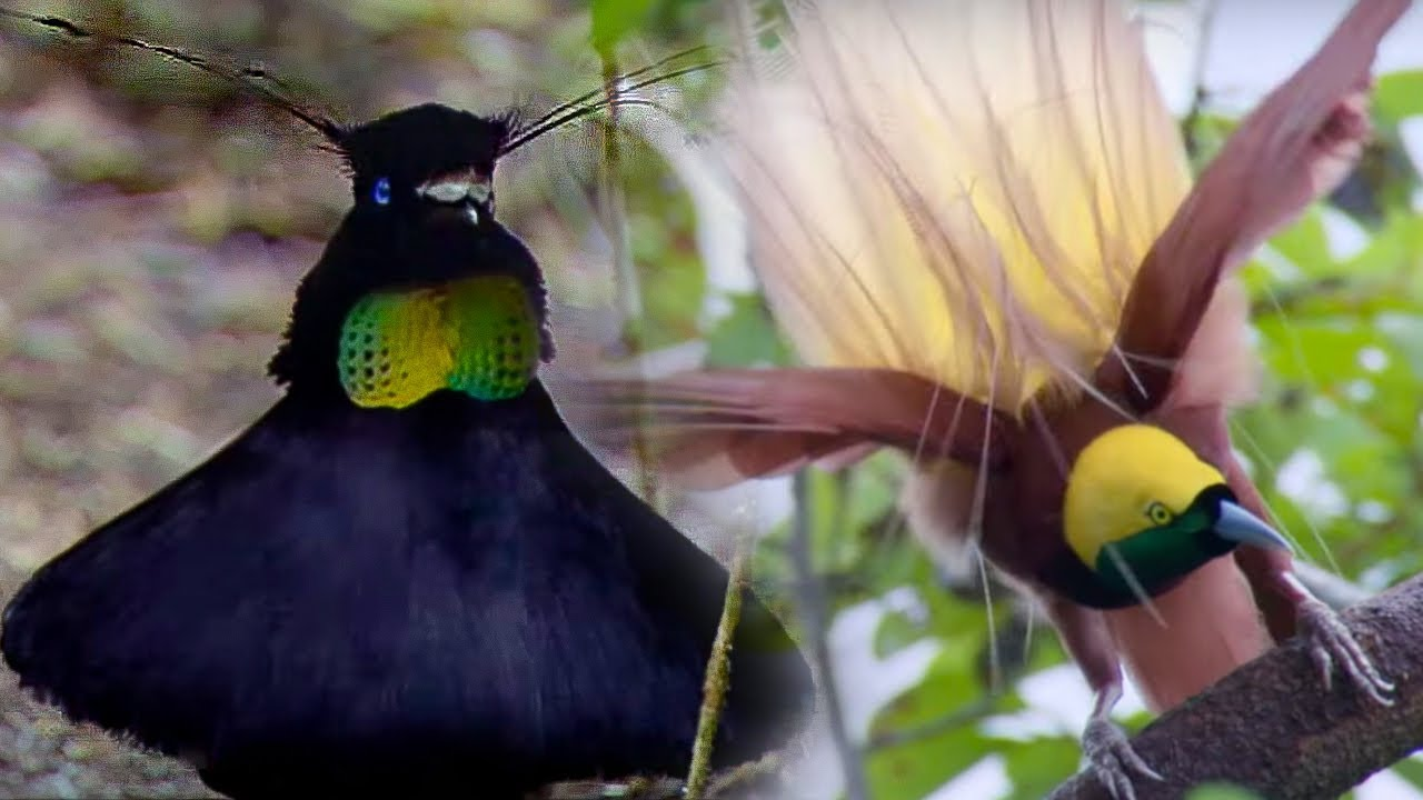 Bird Of Paradise Courtship Spectacle   Planet Earth   BBC Earth     Bird Of Paradise Courtship Spectacle   Planet Earth   BBC Earth