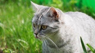 Британская кошка впервые на дикой природе | British Shorthair Cat