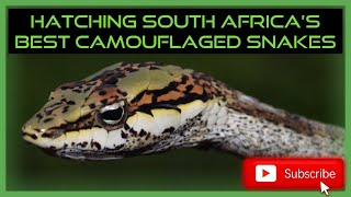 HATCHING SOUTH AFRICA'S BEST CAMOUFLAGED VENOMOUS SNAKES!!