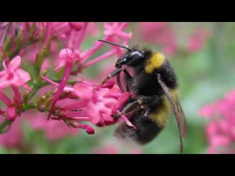 Common Bumblebees of the United Kingdom - Blooms for Bees