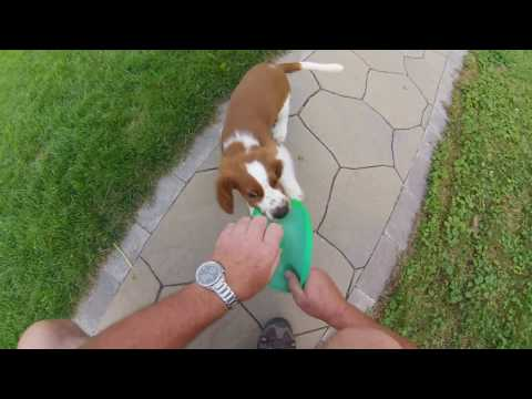 Welsh springer spaniel Bryn 12 weeks old learning to retrieve.