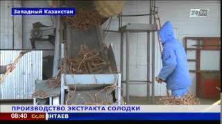 Завод по переработке корня солодки намерен выйти на отечественный рынок