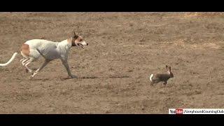Gambar cover greyhound chasing rabbit in coursing race in Pakistan 2019 | dog race