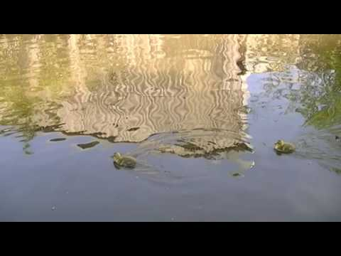Stalybridge Canal Wildlife Geese