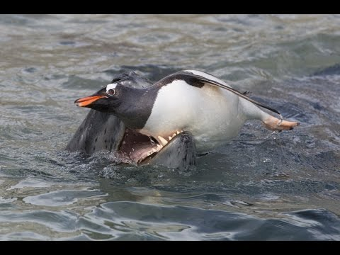 Leopard Seal hunting Gentoo Penguins