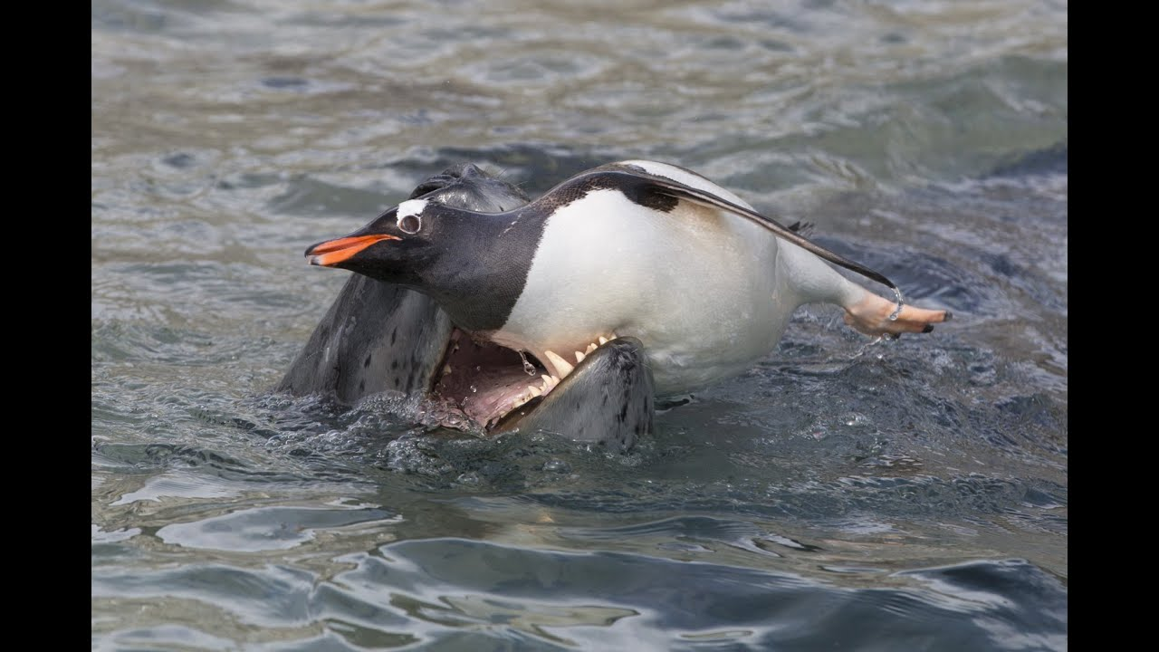 Cute Blobfish Wallpaper Leopard Seal Hunting Gentoo Penguins Youtube