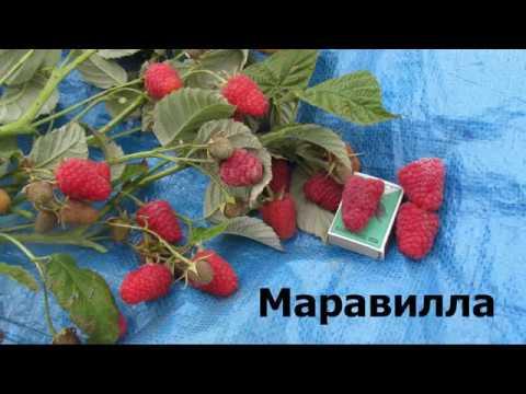 малина маравилла фото описание сорта
