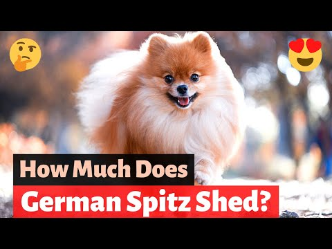 German Spitz: What you need to know about this Pomeranian Lookalike?