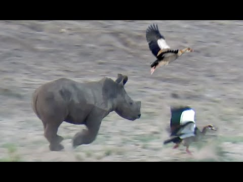 Baby Rhino Vs Birds