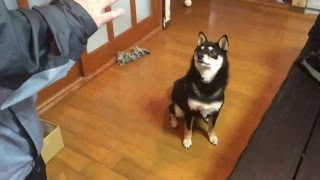 ブログ⇒ http://blog.livedoor.jp/shibainuhappyblog/ 柴犬ハッピーを我...