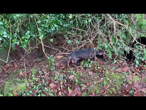 Dachshunds Hunting