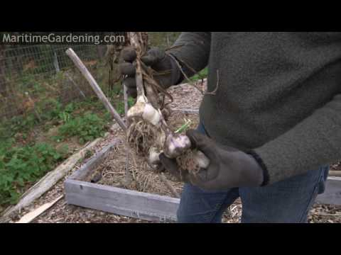Planting Garlic in Zone 5 with Greg Auton - Maritime Gardening Podcast
