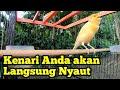 Masteran Suara Burung Kenari Gacor Pancingan Kenari Lokal  Mp3 - Mp4 Download