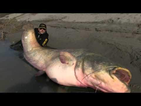 CHANNEL CATFISH CAUGHT IN COLORADO RIVER '' RECORD 2015 '' from YouTube · High Definition · Duration:  4 minutes 3 seconds  · 3,000+ views · uploaded on 6/15/2015 · uploaded by MR-FLIP