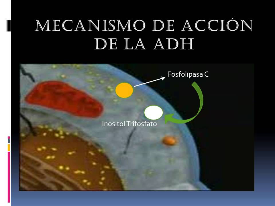 Mecanismo de Acción de la ADH - YouTube