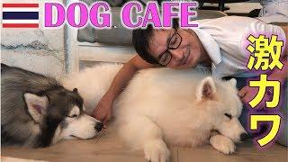 タイ人、観光客に大人気の犬カフェ DOG IN TOWNに行ってきた!【タイ・バンコク】