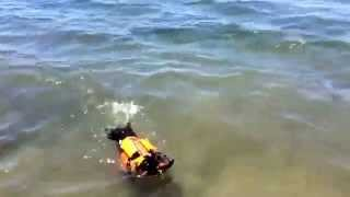 Shwoogie Swims With Life Vest(mini Dachshund)