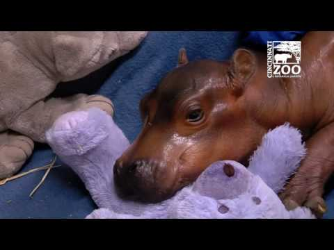 Premature Hippo Baby Getting 24 Hour Care - Cincinnati Zoo