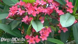 Plumeria rubra Frangipani (Apocynaceae) Jasmim-manga